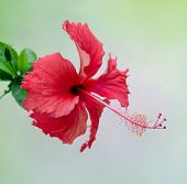 Close up red hibiscus flower