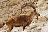 Wild ram (numbian ibexes)