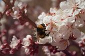 Spring Blossom Apricot With Bumblebee