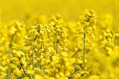 pic of rape-seed  - Blooming canola field  - JPG
