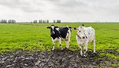 Two Cows In Muddy Grassland