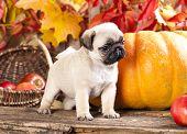 pug puppy and pumpkin