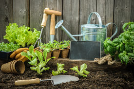 picture of humus  - Seedlings of lettuce with gardening tools outside the potting shed - JPG