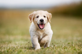foto of little puppy  - Seven week old golden retriever puppy outdoors on a sunny day - JPG