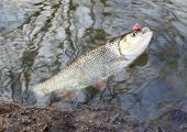picture of chub  - Catch of fish - JPG