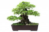 stock photo of bonsai  - Bonsai pine tree against a white wall - JPG