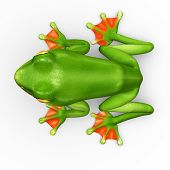 foto of exotic frog  - A flying frog is a frog that has the ability to achieve gliding flight - JPG