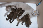 image of scottish-fold  - Scottish fold Mother cat milk feeding her kittens in a cardboard box - JPG