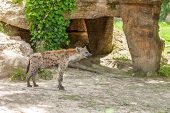image of hyenas  - The  wild hyena on the background of gray land in sunny day - JPG