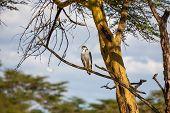 pic of fish-eagle  - African Fish Eagle on a tree at Lake Naivasha - JPG