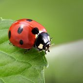 stock photo of ladybug  - ladybug on leaf - JPG