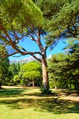 picture of crimea  - Green Summer Pine on the Meadow and High Rocky Mountains on Background - JPG