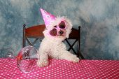 foto of bichon frise dog  - Jolie a Pure Breed Bichon Frise dog celebrates her 12th Birthday - JPG