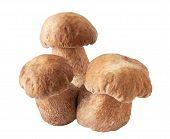 image of porcini  - porcini mushrooms - JPG