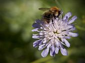 Bee On Field Scabious