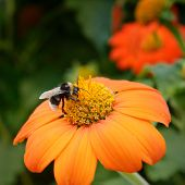image of bumble bee  - Big bumble bee on flower - JPG