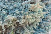 stock photo of blue spruce  - Blue spruce tree branches closeup background holiday - JPG