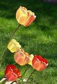 cluster of multicolored tulips