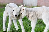image of spring lambs  - Two hugging and loving newborn white lambs in spring meadow - JPG