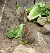 two jackrabbits eating lettuce