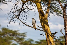 stock photo of fish-eagle  - African Fish Eagle on a tree at Lake Naivasha - JPG