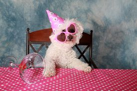 picture of bichon frise dog  - Jolie a Pure Breed Bichon Frise dog celebrates her 12th Birthday - JPG