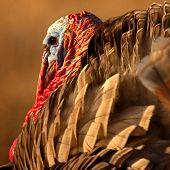 stock photo of wild turkey  - A square portrait of a male Wild Turkey in New Mexico - JPG