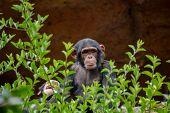 stock photo of ape  - Wild Black Chimpanzee Mammal Ape Monkey Animal - JPG