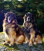Two Leonbergers
