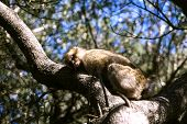 picture of gibraltar  - Barbary macaque asleep in Gibraltar the only place in Europe to live in freedom - JPG