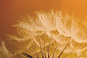 stock photo of dandelion seed  - Beautiful dandelion with seeds - JPG