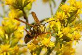 Pollen Covered Western Yellow Jacket (vespula Pensylvanica)