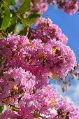 picture of crepe myrtle  - unusual inflorescence by pink color of lagerstroemia indica  - JPG