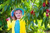 stock photo of cherries  - Kids picking cherry on a fruit farm - JPG