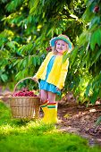 picture of cherries  - Kids picking cherry on a fruit farm - JPG