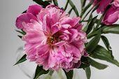 image of single flower  - Single pink peony flower over white background - JPG