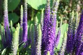 pic of purple sage  - Close up of Blooming Salvia purple flowers in summer