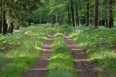 stock photo of dirt road  - The photograph shows the forest, dirt road. It runs through tall pine forest. On both sides of the road grows row of tall oaks. It