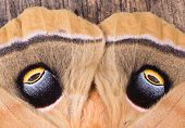 picture of moth  - Closeup of the eyespots of a polyphemus moth - JPG