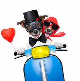 pic of married  - couple of just married jack russell dogs driving a funny motorbike vespa for vacation holidays and honeymoon isolated on white background - JPG