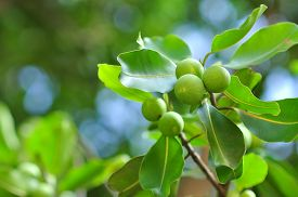 image of wild-brier  - wild fruits in a Vietnamese wild island - JPG