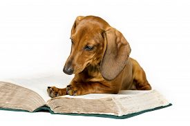 image of working-dogs  - Dog Read Book Animal School Education Training Smart Dachshund Reading Isolated over White Background - JPG