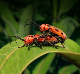 foto of genes  - Sex in nature concept as two beetle insects in sexual activity for reproduction on a green leaf as a biology symbol for natural selection and the transfer of genes from male to female - JPG