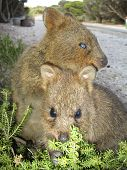 stock photo of quokka  - Two Quokkas eating on Rottnest Island Western Australia  - JPG