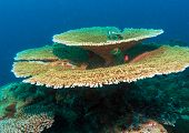 Big Table Corals (acropora Pulchra), Maldives poster