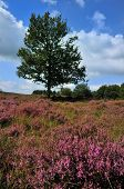 meadows or fields full with purple heather