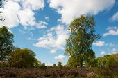 Birch tree in nature heather landscape at spring