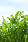 Green maize on the blue sky background