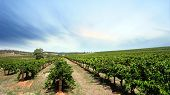 Scenic Vineyard on a clear day in the Barossa Valley