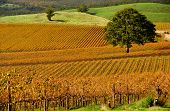Autumn Vineyard Rows